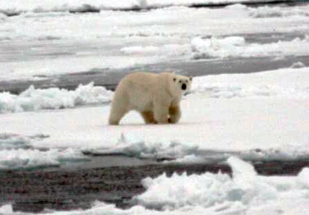 Polar bear on the ice field.
