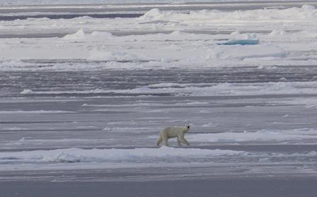 Polar bear walking.