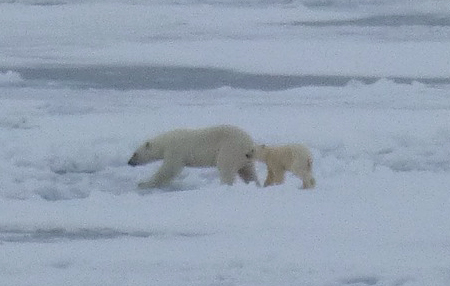 A mother polar bear and her cub on the ice.