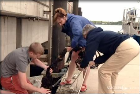 Jenn Dijkstra helps pull a rope of mussels up onto the pier.