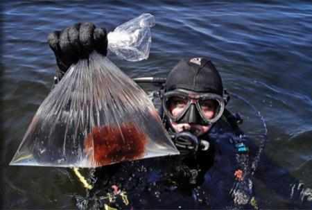 Kristen Mello, swimming in her dive gear, holds up a plastic bag with a sample of the red scrubby seaweed.