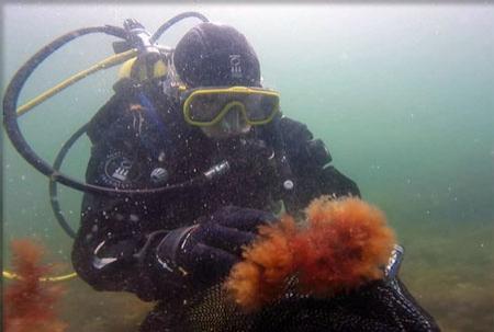 Underwater photo of a scuba diver handling orange colored seaweek.